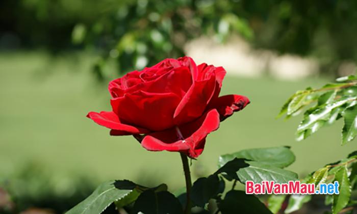 Suy nghĩ về ý nghĩa của câu chuyện sau: Hoa hồng tặng mẹ