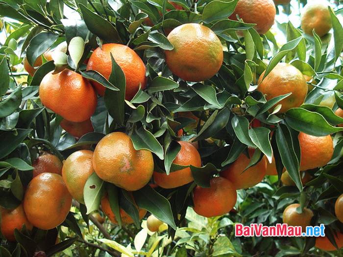 Văn tả cây cối - Nhà em có khu vườn trồng nhiều loại cây ăn quả. Giữa vườn, cây cam được chăm sóc tốt nên ra rất nhiều quả. Em hãy tả cây cam trĩu quả đó