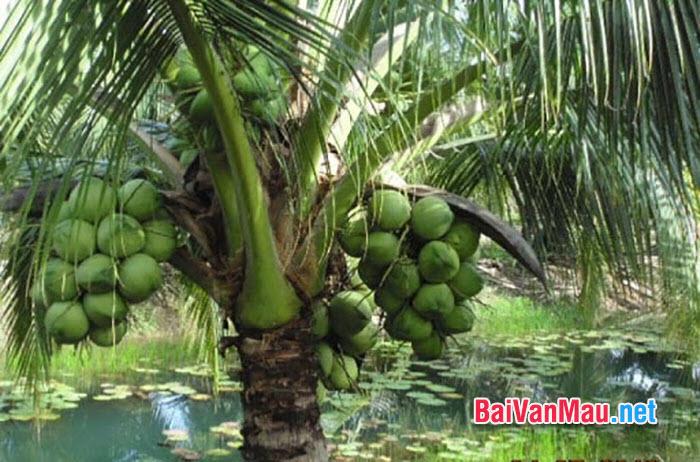 Văn tả cây cối - Tả cây dừa quê em