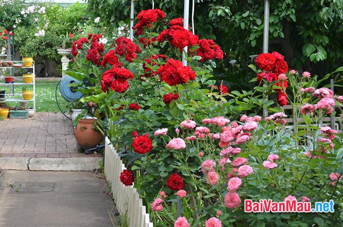 Văn tả cây cối - Em hãy tả cây hoa hồng