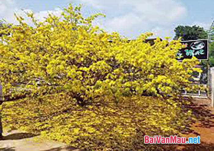 Văn tả cây cối - Em hãy tả cây hoa mai