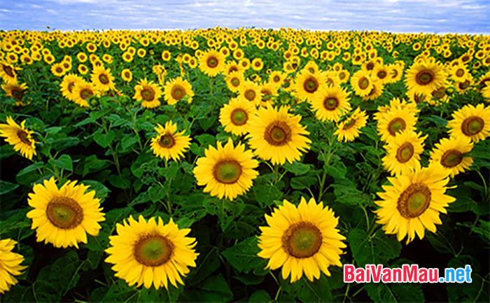 Văn tả cây cối - Em hãy tả miêu tả cây hoa hướng dương