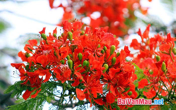 Văn tả cây cối - Em hãy tả cây phượng trong sân trường em