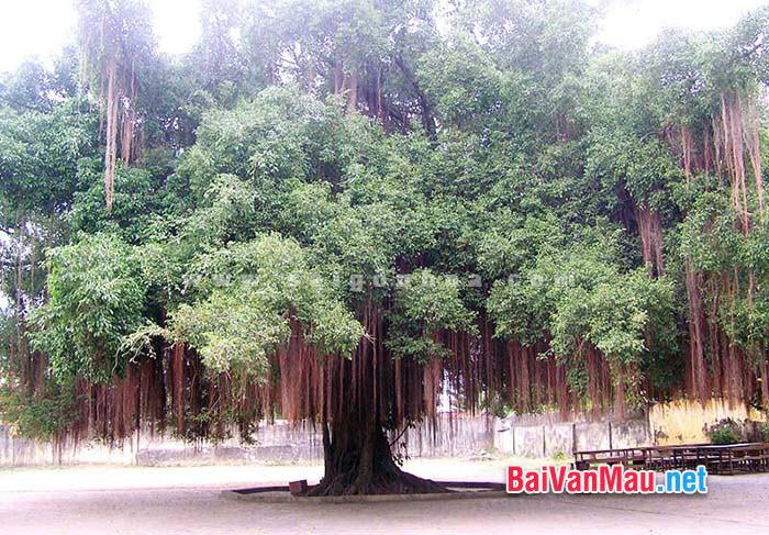 Văn tả cây cối - Em hãy tả cây si già