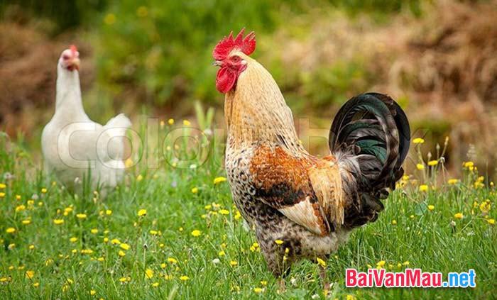 Văn tả con vật - Em hãy tả con gà trống