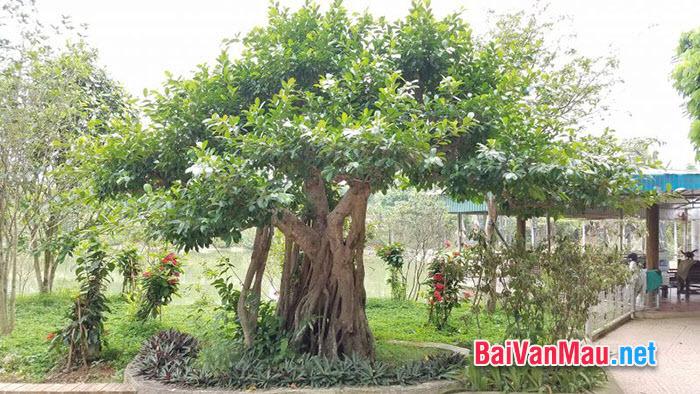 Không biết đến nay, cây si già đã bao nhiêu tuổi