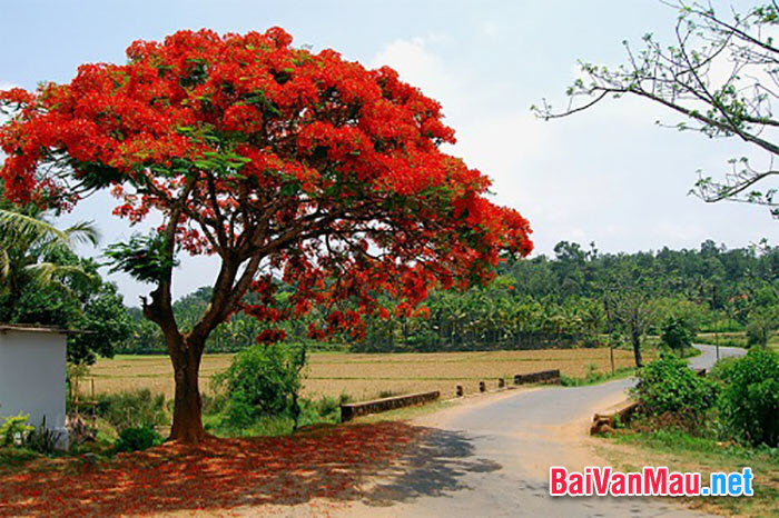 Mỗi bông phượng có năm cánh mỏng, màu đỏ rực rỡ