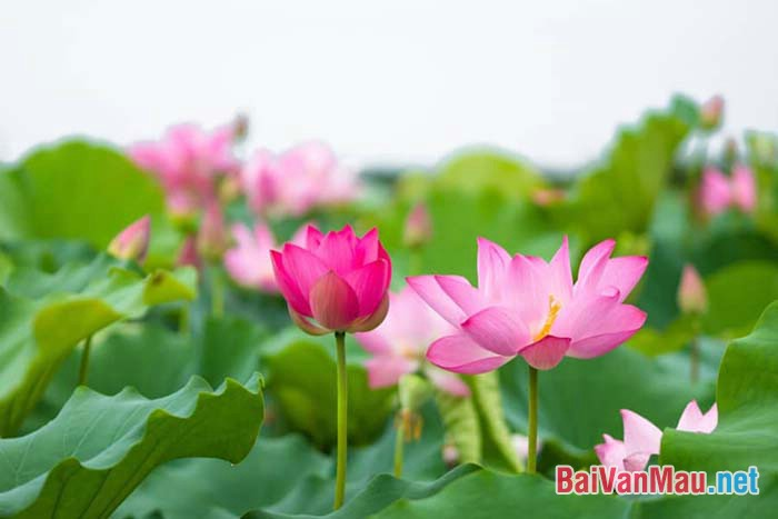 Cảm nhận của em về bức tranh cảnh vật thiên nhiên qua bài thơ Cảnh ngày hè của Nguyễn Trãi