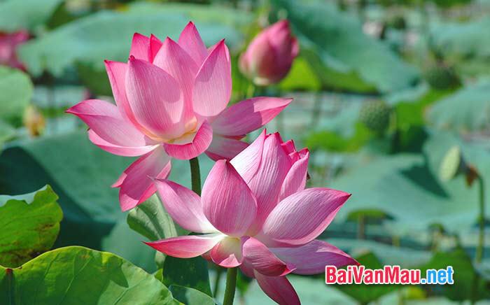 """Nhà thơ nổi tiếng Ấn Độ Ta-go cho rằng: """"Thà làm một bông sen nở khi thấy mặt trời rồi mấy hết tinh nhụy còn hơn giữ nguyên hình nụ búp trong sương lạnh vĩnh cửu của mùa đông"""""""