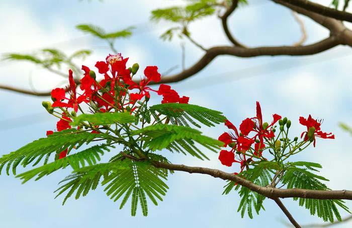 Chuyển đoạn văn miêu tả sang đoạn văn biểu cảm.Đoạn văn miêu tả: Phượng nở vào mùa hè... Hương hoa thoang thoảng thơm. Em rất thích loài hoa nở vì nó gắn bó với bao kỉ niệm của tuổi học trò chúng em
