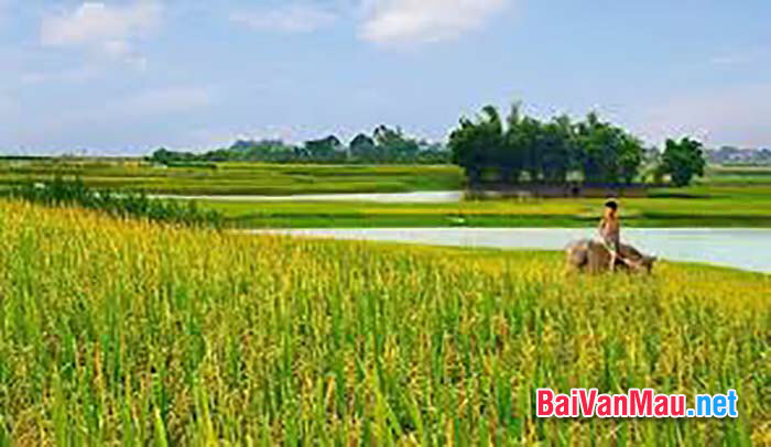 cánh đồng lúa quê hương